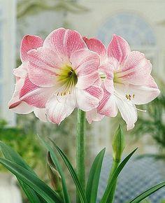 Amaryllis learn 2 #grow #amaryllis #hippeastrum http://www.growplants.org/growing/amaryllis