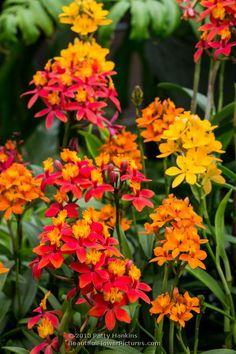 Epidendrum Orchids © 2013 Patty Hankins