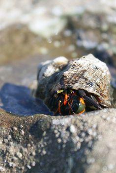 fyeah-seacreatures: Hermit Crab. (Elizabeth Melachroinos)