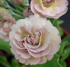 http://www.angusplants.co.uk/images/Trouble.jpg