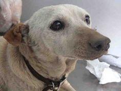 Chihuahua dog for Adoption in Sacramento, CA. ADN-634100 on PuppyFinder.com Gender: Female. Age: Senior