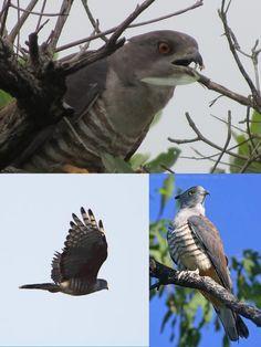 African Cuckoo-Hawk (LC) Raptors, Vulnerability, African, Bird, Animals, Animales, Animaux, Birds, Animal