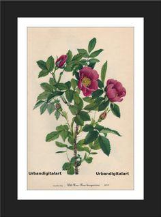 Wild Rose-Downloadable Vintage  Art Print by UrbanDigitalArt