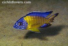 "Aulonocara stuartgranti Chiwindi ""Blue Neon"" African Cichlid"