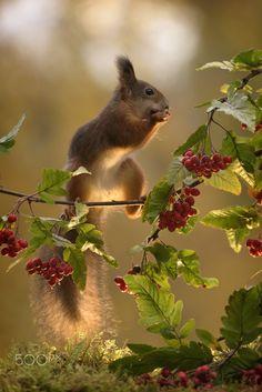 squirrel on branch with berries and leaves (Geert Weggen / Bispgården / Sverige) Animals And Pets, Baby Animals, Funny Animals, Cute Animals, Wild Animals, Wildlife Photography, Animal Photography, Cute Squirrel, Squirrels