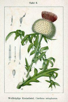 Kratzdistel, Wollköpfige Carduus eriophorus Wollköpfige Kratzdistel…