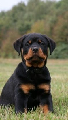 The many things I admire about the Confident Rottweiler Puppies Rottweiler Love, Rottweiler Puppies, Beagle, Doberman Dogs, West Highland Terrier, Dog Training Techniques, Dog Training Tips, Pet Dogs, Dog Cat