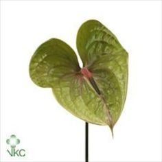 Anthurium Pistache are a green variety with a pink & green stamen. 10 stems per box = large flower heads.