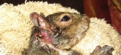 Don't let Alabama authorities euthanize a disabled squirrel! Save Grace and bring her home! | YouSignAnimals.org