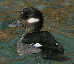 Bufflehead female Duck Species, Aquatic Birds, Life List, Nesting Boxes, Duck Hunting, Swans, Ducks, Pond, Feather