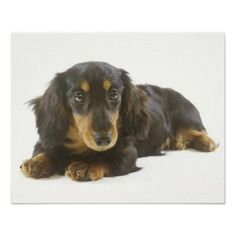 Long-Haired Dachshund Puppy Posters