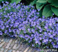 Fill in your fabulous landscape with some hardy geraniums from Roberta's. QVC.com