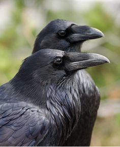 Is that a raven or a crow? Compared to the American Crow, the Common Raven's beak is bigger and curvier. Ravens also have longer bristles… Raven And Wolf, Raven Bird, Pet Raven, Beautiful Birds, Animals Beautiful, Rabe Tattoo, American Crow, Native American, Crow Art