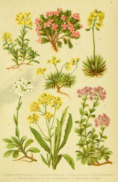 Alpen-Flora für Touristen und Pflanzenfreunde Stuttgart :Verlag für Naturkunde Sprösser & Nägele,1904. biodiversitylibrary.org/page/10383985