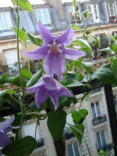 Premières fleurs de ma clématite Blue River http://www.pariscotejardin.fr/2013/06/premieres-fleurs-de-ma-clematite-blue-river/