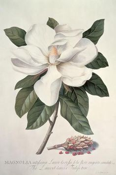 Discover our stunning range canvas wall art. Shop our canvas art prints today! Flor Magnolia, Magnolia Flower, Victorian Flowers, Vintage Flowers, Botanical Flowers, Botanical Prints, Silk Flowers, Flower Prints, Flower Art