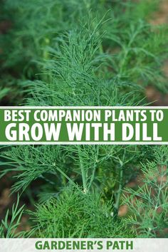 Gardeners appreciate dill's attractive, feathery leaves and its commanding presence in the landscape. But before you add this delicious and useful herb to your garden, it's important to carefully cons