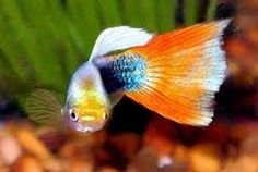 Guppies are a very easy-to-breed fish species. Here is Different Types of Guppies In The World Home Aquarium Fish, Tropical Aquarium, Tropical Fish, Guppy, Animal Pictures, Cool Pictures, Beautiful Pictures, Fish Jumps, Salt Water Fish