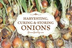 How to harvest and cure storing onions so they last through the winter and provide delicious flavor to winter soups, bone broths, chili, stews, and roasts.