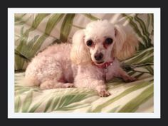 This is my Toy Poodle, Demi Tae. She nine years old.. Sept. 2013