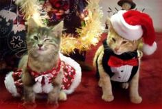 Christmas is a time of cats. OK, that& not strictly accurate, but here& a whole bunch of them acting like it is. Here& wishing a very Merry Christmas to you and to the cats in your life! Christmas Kitten, Christmas Animals, Christmas Humor, Christmas Costumes, Cute Cats, Funny Cats, Funny Animals, Adorable Animals, Crazy Cat Lady
