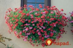 Beautiful Pink and Red Balcon (aka Swiss or Alpine or Balcony) Ivy Geraniums in a window box Beautiful Gardens, Beautiful Flowers, Ivy Geraniums, Balcony Flowers, Pot Plante, Green Life, Deco, Garden Inspiration, Rose