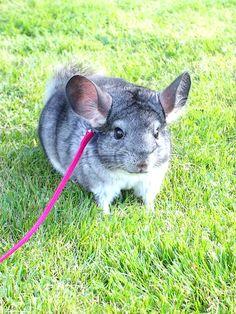 Eddie - my chinchilla