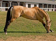 Akhal Teke stallion Magnatli
