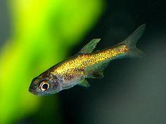 Rasbora axelrodi neon Fish Aquariums, Freshwater Aquarium Fish, Tropical Aquarium, Tropical Fish, Fish List, Fish Breeding, Amazon River, Koi Carp, Guppy