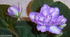 african-violet-Beachcomber-pair-of-leaves