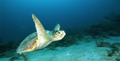 Tell Mexico: Protect Critically Endangered Sea Turtles | Please SIGN and share this action. Thanks.