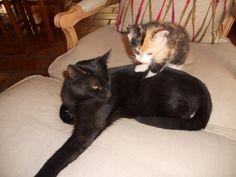 Gaïa ne quitte plus Salomée #chat #cat #chambredhote #bandb #cute #mignon #tarn #castelnaudemontmiral #gaillac http://lamaisonduchai.com/accueil.html