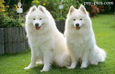 Znalezione obrazy dla zapytania białe  psy