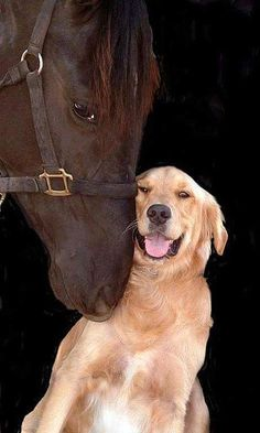 Reminds me of our golden retriever that would lead our horses around the yard using the lead rope:) Horses And Dogs, Animals And Pets, Dogs And Puppies, Funny Animals, Cute Animals, Doggies, Barn Animals, Wild Animals, Love My Dog