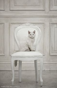 #cute #cat #white