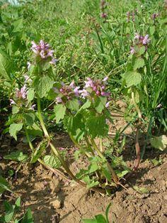 hluchavka nachová - Lamium purpureum | Květena České republiky - plané rostliny ČR | www.kvetenacr.cz |