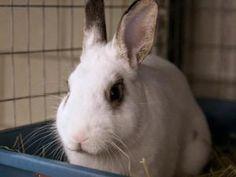 SHILOH is an adoptable Bunny Rabbit Rabbit in Boston, MA.