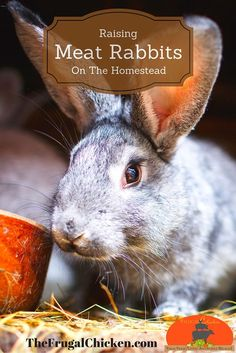 Raising rabbits on your homestead for meat is a great way to have a consistent supply of lean, healthy meat. Here's a look at our rabbits and what you need to know. #homesteading #rabbits