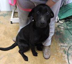 ***URGENT : HOPE ~ Labrador Retriever Dog | Waverly, OH | Hope is an owner surrender.This dog is 3 years old, weighs 52 pounds and available for 1/9/2015This...