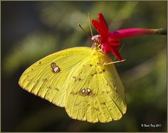 The Orange-barred Sulphur (Phoebis philea) is a species of butterfly found in the Americas including the Caribbean.