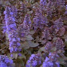 Vivace persistante idéale en couvre-sol et rocaille. Floraison printanière bleue.