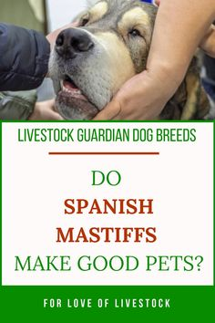 Spanish Mastiffs make great pets for families who want a giant breed dog who's gentle and trainable. To learn more about these beautiful dogs and how to care for them in your home, check out this article! Spanish Mastiff, Raising Farm Animals, Mastiff Puppies, Farm Dogs, Tibetan Mastiff, Anatolian Shepherd, Great Pyrenees, Large Animals, Working Dogs