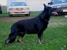 Learn about the different colors in the German Shepherd Dog breed, including Bi Color.      http://www.examiner.com/article/the-gsd-breed-and-bi-color-dogs