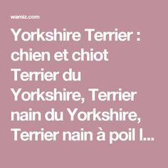 Yorkshire Terrier : chien et chiot Terrier du Yorkshire, Terrier nain du Yorkshire, Terrier nain à poil long, Toy Terrier du Yorkshire, Yorkie, York, Yorkshire miniature - Wamiz