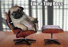 It's tough at the top. Cute Pug Dog