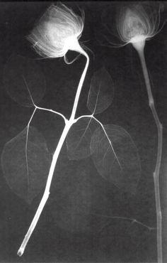 flower x-rays