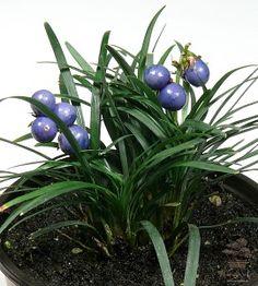 Ophiopogon s plodmi - ukážka