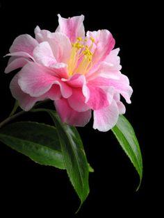 """ツバキ. Camellia japonica """"Fukurinikkyu""""."""