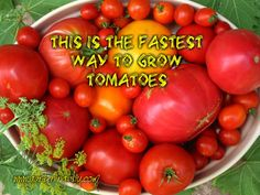There's something about biting into a ripe, juicy tomato that just feels like summer. Chances are, tomatoes star in your home garden, and with such a high demand, the weeks it takes for a seedling ...