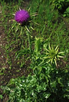 Ostropest plamisty - jakie choroby leczy, jak go stosować? Health And Wellness, Herbalism, Nature, Flowers, Plants, Beauty, Beautiful, Food, Gardening